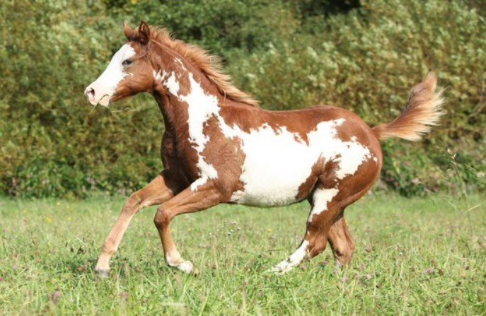 american paint horse price