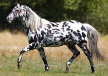 appaloosa-horse-lifespan