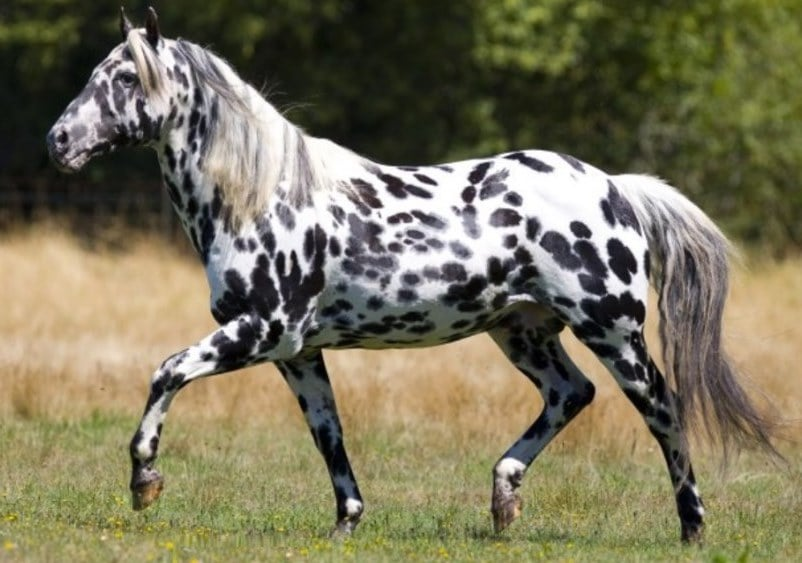 appaloosa horse lifespan