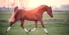 arabian horse facts
