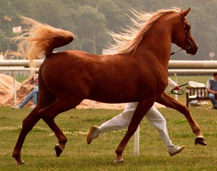 arabian horse weight