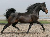 morgan horse facts