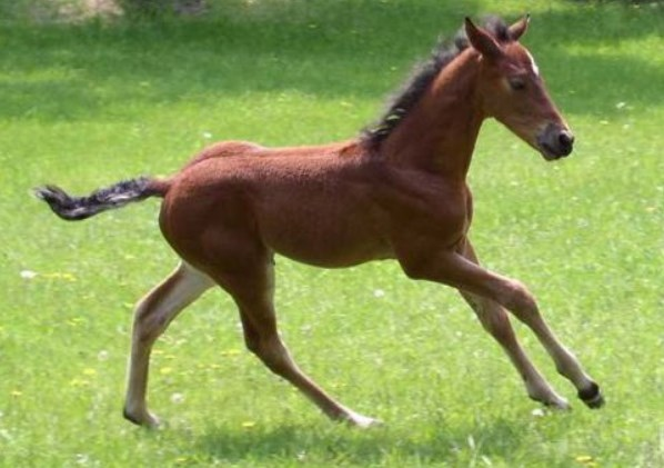 A Morgan Foal