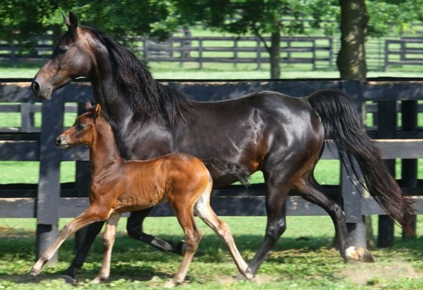 morgan horse lifespan