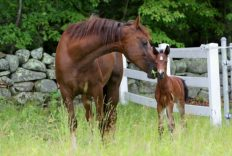 morgan horse price