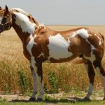 paint horse height