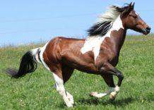 paint-horse-lifespan