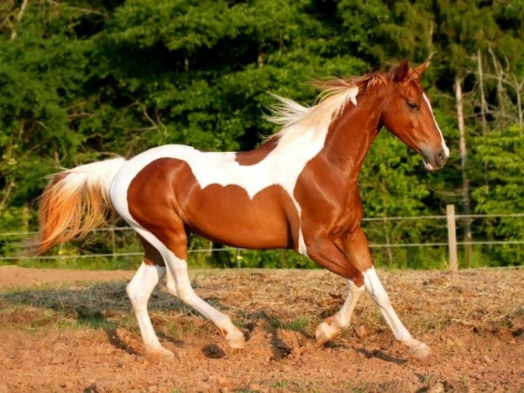 paint horse weight