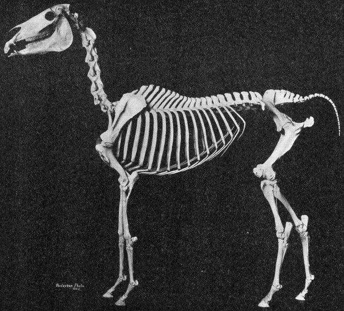 special bone of arabian horse