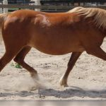 tennessee walking horse facts