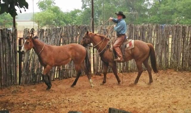 Horse Halter Breaking