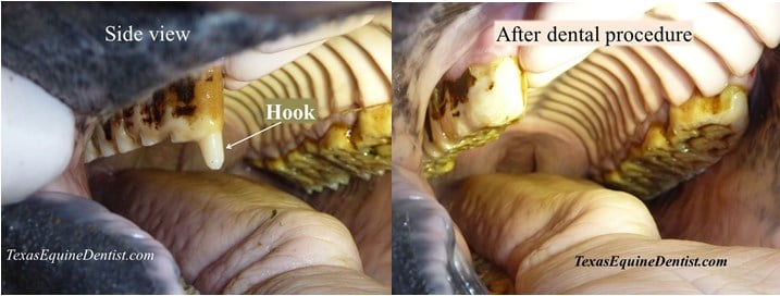 Before and after floating horse's teeth