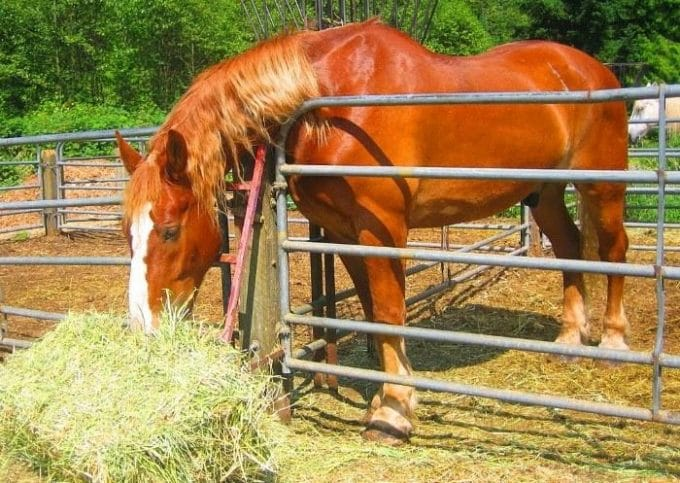 A horse is eating hay