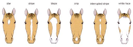 common horse face marking