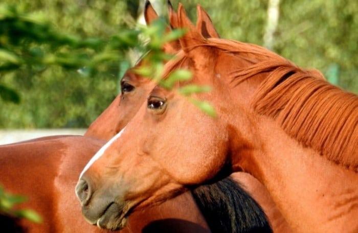 proud cut horse